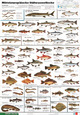 Mitteleuropäische Süßwasserfische